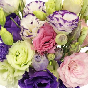 Eustoma double