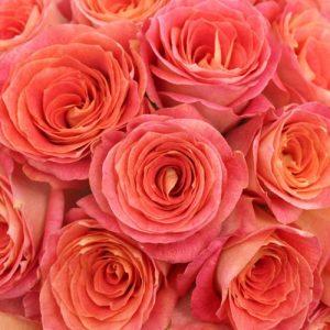 Rosa big