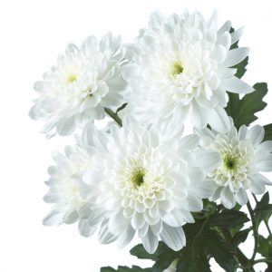 Chrysant spray