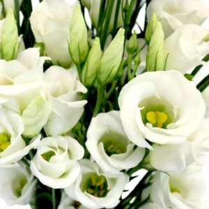 Eustoma single
