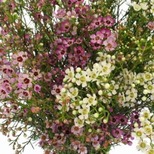 Waxflower/ chamelaucium